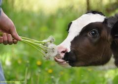 Treats (Rosina Huber) Tags: summer pets nature grass animal outdoors cow eating dandelion seeds calf bovine holstein calves familytime