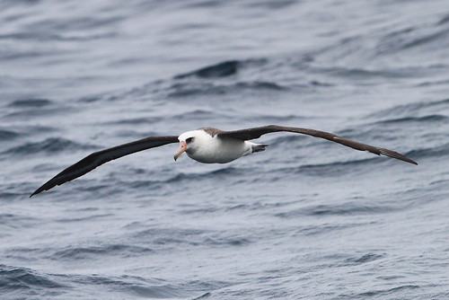 <p>The Laysan Albatross is quite a bit rarer than the Black-footed in central California, yet we have had amazingly good luck with it off Half Moon Bay! It is essentially a 50% chance. This individual is an adult due to the colorful bill and the grey wash on the face. </p>
