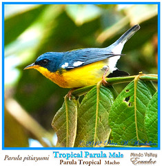 TROPICAL PARULA Parula pitiayumi Male Shown in Profile near the Ro Mindo in Northwestern ECUADOR. Warbler Photo by Peter Wendelken. (Neotropical Pete) Tags: ecuador warbler woodwarbler mindo parula pichincha parulidae ecuadorbirds southamericanbirds tropicalparula parulapitiayumi peterwendelken ecuadorphoto neotropicalwarblers ecuadorwarblers southamericanwarblers mindowarblers warblerphotobypeterwendelken tropicalparulamale tropicalparulaphoto tropicalparulainecuador parulatropical