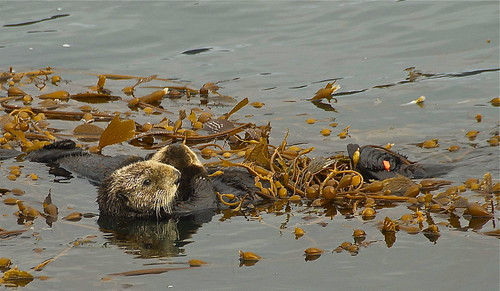 California Sea Otters, Whaler's Cove, Point Lobos State Natural Reserve, Monterey County, California