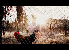 Early Bird (PSG-79) Tags: italy sunrise canon italia cock toscane haan itali morningsun agriturismo fattoria rozzalupi fattoriarozzalupi