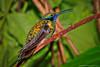 Colorful-Hummingbird-Perched-on-Branch (Captain Kimo) Tags: birds hummingbird highdynamicrange photomatixpro hdrphotography singleexposurehdr psuedohdr topazadjust captainkimo