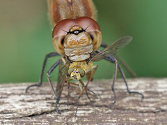 Common Darter - Sympetrum striolatum (Roger H3) Tags: insect dragonfly common darter odonata