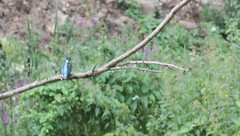 Martin pcheur (Alcedo atthis) (Denis.R) Tags: blue france bird nature animal animals canon observation wildlife lookout bleu kingfisher luxembourg animaux protection lorraine luxemburg oiseaux moselle vido alcedoatthis martinpcheur affut prservation afft billebaude denisr fontoy denisrebadj