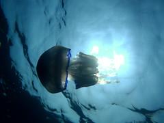 P8090430s (joseclaretmascort) Tags: sea fish water marine jellyfish mediterranean underwater medusa undersea