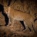 Wild Leopard at Night - South Luangwa, Zambia