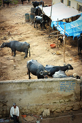 Car Drivers Available On Hourly Basis... (Debajyoti_Das) Tags: india buffalo hyderabad stable milkman cowshed bullocks indianguy madhapur hitechcity buffaloshed buffalostable buffaloowner
