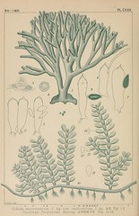 n183_w1150 (BioDivLibrary) Tags: algae botany japan pictorialworks mblwhoilibrarywoodshole bhl:page=1256617 dc:identifier=httpbiodiversitylibraryorgpage1256617 taxonomy:binomial=codiummucronatum taxonomy:binomial=caulerpafergusonii artist:viaf=71791223 artist:name=kintarookamura