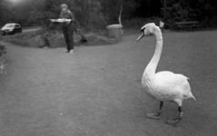 Swan on the Move (Sibokk) Tags: zorki camera uk blackandwhite bw white black film 35mm photography mono scotland swan edinburgh 400 push processed ilford 4k hp5plus believeinfilm