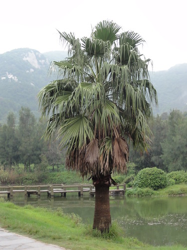 Palm tree close to Thousand Step Beach