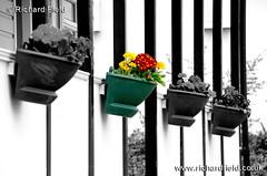Splash of Sussex colour (Azurian Vista) Tags: flowers white black color colour photoshop sussex nikon selective shorehambysea nikor 55300mm d7000