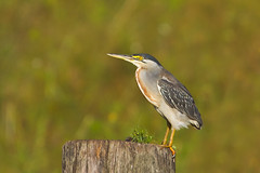 Brazilian Birds - Species # 078 - Striated Heron (Bertrando) Tags: brazil nature birds brasil wildlife natureza aves birdwatching pssaros campos brazilianbirds striatedheron butoridesstriata socozinho bertrando