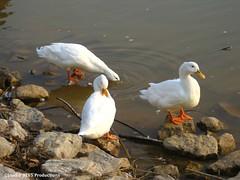 Quack! (Studio 9265) Tags: white lake water duck october rocks indiana 2008 quack starlight