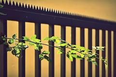 fEncy leaves (ms holmes) Tags: green leaves lines backlight fence warm stripes warmth simplicity backlit friday simple zaun tones bltter grne freitag gegenlicht streifen hff linien einfach simpel schlicht zacken canoneos1000d