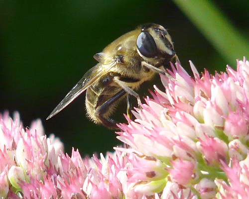 A Badger Bee