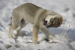 aged 8 weeks (Timoleon Vieta II) Tags: portrait snow wolf little diary timoleon