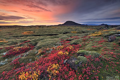 Burst of Color - Lava Fields in Autumn Colors in Iceland (orvaratli) Tags: autumn fall colors lava iceland moss september arctic blueberry gras reykjavík reykjanes arcticphoto