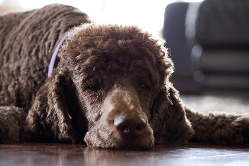 Charlie (lgberriman) poodles dogs animals canon eos rebel australia queensland 650d t4i