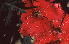 Water droplets on a dianthus petal (john.sargent.2009) Tags: flowers film macrophotography closeupphotography asahipentax extensiontubes