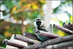 Scimmietta curiosa... (M_Verdina) Tags: africa verde monkey nikon kenya curioso resort safari sguardo hakuna nikkor d60 matata nital scimmia tronchi sh 55300mm