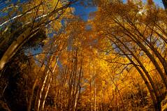 aspen grove (mikerosebery) Tags: newmexico fall foliage nm aspen