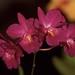Cattleytonia Jamaica Red 'Sentinel' HCC/AOS – Alex Nadzan