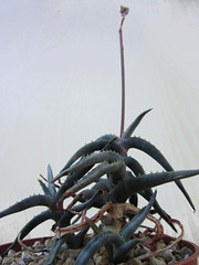 Aloe inexpectata (juan_y_ana) Tags: aloe inexpectata