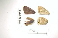 WT-12-P110 Lampides boeticus (lepdatabase) Tags: kenya lycaenidae polyommatinae polyommatini lampides boeticus