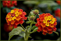 Tiny Blossoms (FocusPocus Photography) Tags: flower nature canon blossom natureza blume lantana blte hdr coth supershot wandelrschen 60d sunrays5 bewiahn
