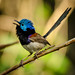 Male variegated Fairywren