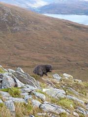 Dougal (Màrtainn) Tags: dog chien cão cane lumix scotland highlands isleofskye alba hond escocia panasonic perro hund pies kutya labradoodle alban szkocja hundur suns pes escócia dougal schottland schotland ecosse anjing scozia kopek skottland собака koira skotlanti skotland koer broskos šuo câine escòcia anteileansgitheanach skócia beinnsgritheall albain iskoçya cù шотландия σκωτία σκύλοσ gàidhealtachd eileansgitheanach beinndubhabhealaich scoţia fz48 dmcfz48 panasonicfz48 panasonicdmcfz48