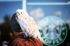 Polly wants a coffee? (i ea sars) Tags: city morning november autumn winter light portrait urban pet sunlight snow man cold bird fall luz sol sunshine animal canon logo outdoors person snowflakes eos 50mm dawn restaurant early cafe october colorado warm day cityscape dof bokeh outdoor retrato background candid wildlife feathers parrot blurred denver depthoffield starbucks storefront 5d invierno cockatiel shallow cockatoo mascota loro goldenhour vogel manana warmlight wintermorning cacatua otono starbuckscoffee canon50mm canonef50mmf14usm   canoneos5d cacata canoneos5dmarkiii 5dmkiii 5dmk3 5d3 5dmarkiii
