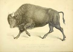 n43_w1150 (BioDivLibrary) Tags: greatbritain bison zooanimals smithsonianinstitutionlibraries menageries animalbehavior popularworks bhl:page=40407314 dc:identifier=httpbiodiversitylibraryorgpage40407314 nationalmammal