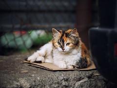 Street cat 160 (Yalitas) Tags: cat cats    kedi chat feline kat katze katzen kot kotka pet felino kottur katte kass kitty gato kocka gatta katzchen canon streetcat