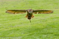 Eagle Owl (captive) (Wild About.......) Tags: 1d4 birds british bubobubo duncombepark eagleowl flightshot ncbp nationalcentreforbirdsofprey nature naturephotography uk unitedkingdom wildlife yorkshire