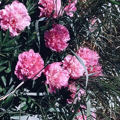 (atenebanelyte) Tags: gles bijnai peony pink flowers