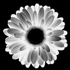 backlighted germini (HansHolt) Tags: germini gerbera mini flower petals white bloem wit backlight tegenlicht square blackandwhite bw zw monochrome blackbackground minimalism macro canoneos6d canonef100mmf28macrousm macromondays flowersinblackwhite hmm