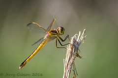Potts Preserve Wandering Glider 07-21-2016 (Jerry's Wild Life) Tags: citrus citruscounty county dragonfly florida pantalaflavescens potts pottspreserve wanderingglider