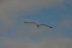 Lake Champlain -2 (Webtraverser) Tags: burlingtonvt d7000 lakechamplain seagull
