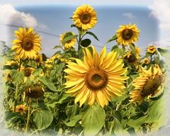 Sunflower by Van Driver v1 (Doyleecart Photography) Tags: sunflower yellow blue sky cloud flower oil somerset mendip westcountry doyleecart canon5dmkiii ngc