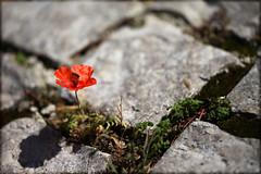 Small miracle (P i n u s) Tags: pinus macro cobblestone poppy