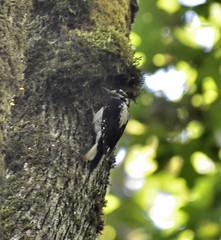 Hairy Woodpecker (f) (glenbodie) Tags: glen bodie glenbodie dncb 201525 campbell hairy woodpecker female
