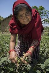 Farmer Chhalu Bhattarai harvests her mung bean crop in Manikapur, Surkhet. (CIMMYT) Tags: nepal csisa cimmyt maize agriculture smallholder farmer mechanization asia