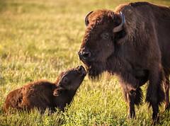 South Dakota '16 (R24KBerg Photos) Tags: animal buffalo bison landscape nature outdoors grassland prairie 2016 canon america usa unitedstates sd southdakota sunrise morning tatanka custerstatepark wildlifeloop mama baby family