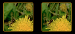 Male Ornate Snipe Fly on Dandelion 4 - Crosseye 3D (DarkOnus) Tags: male ornate snipe fly dandelion chrysopilus ornatus weed pennsylvania buckscounty huawei mate8 cell phone 3d stereogram stereography stereo darkonus closeup macro insect crossview crosseye