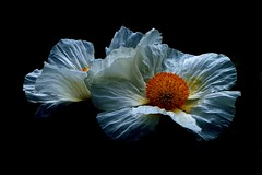 Himalayan Poppy (mikeyb125) Tags: poppy himalayan white mechanopsis paper yellow pollen mellswalledgarden