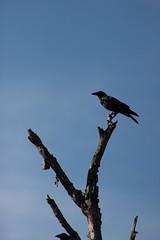 Perched (historygradguy (jobhunting)) Tags: stillwater upstate ny newyork saratoganationalhistoricalpark crow bird animal corvid tree branch