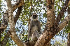 Banino_20160326-141615 (airbreather) Tags: habarana northcentralprovince srilanka animal mammal primate monkey tufted gray langur semnopithecus priam