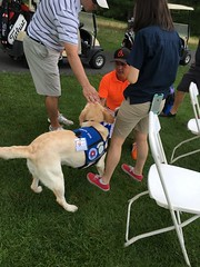 Calvin getting pets from golfers (hero dogs) Tags: golf tournament dog labrador cute therapydog servicedog