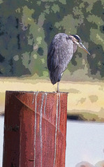 """""""Lurch"""" (hilarymcurrie) Tags: hi res high resolution image photo pic photograph picture foto bird heron waterfowl migratory chicken outdoor nature wilderness river water banks shoreline photography photoshop posterized vertical wall decor wallpaper tower log post pillar perch summer fall angry mean glare dangerous lurch adams family daytime sunshine trees background stalk stalker scary yellow eye glower stare painting depth field blur large file cartoon character animation personality animal wildlife mammal hunter watch peer focus resting king castle effects"""